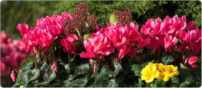 Consejos para plantar al aire libre los cicl menes morel - Arrosage cyclamen en pot ...