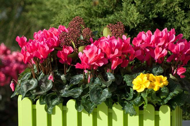 Consejos para plantar al aire libre los cicl menes morel - Plantas de exterior con flor ...