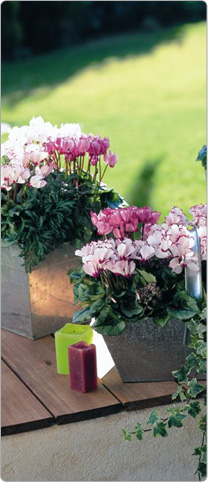 Mini cyclamen Metis® VICTORIA White, rose and salmon
