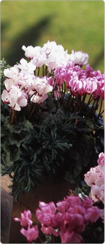 Jardini res de senteur mini cyclamens metis avec plantes - Rosier miniature exterieur ...