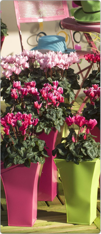 Midi Tianis® cyclamen, 3 Rose, 5 FANTASIA® Rose, 3 Rose with eye