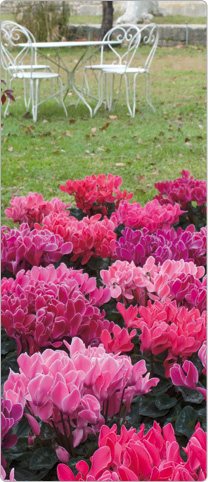 les cyclamens en pleine terre au jardin pour un d cor d 39 automne color. Black Bedroom Furniture Sets. Home Design Ideas