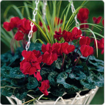 Mini cyclamens Metis® Rouge acorus