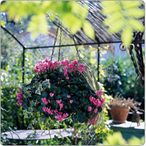 Mini Metis® cyclamen  Rose - multicoloured Ivy, Grasses