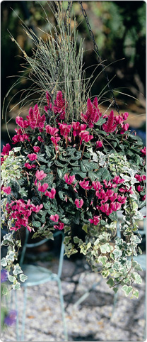 Mini Metis ® cyclamen Magenta - multicoloured Ivy, Celosia Caracas, Grasses