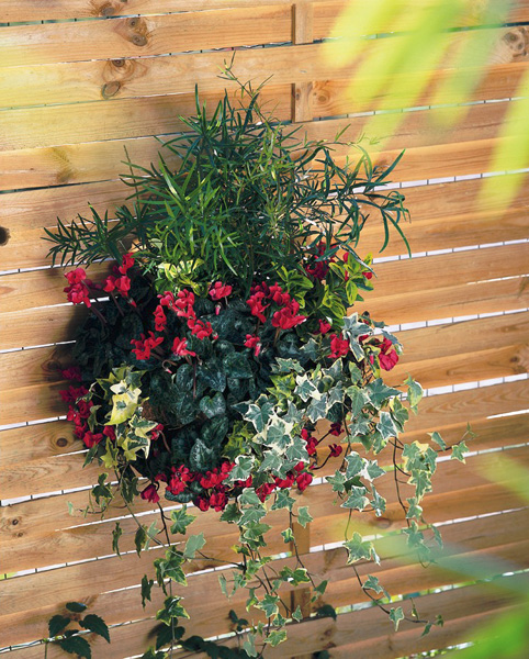 The Use Of Morel F1 Hybrid Cyclamen In Wall Planters