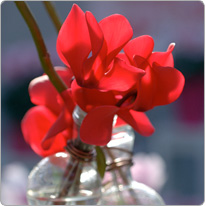 Cyclamen flowers Halios® Red