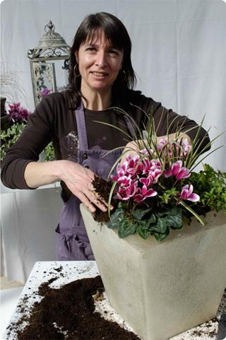 Care tips for a long flowering period of the morel cyclamen indoors - Arrosage cyclamen en pot ...
