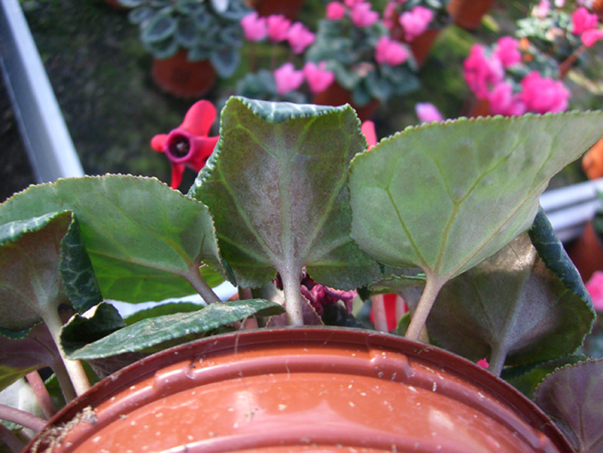 Thrips - Pests - Diseases