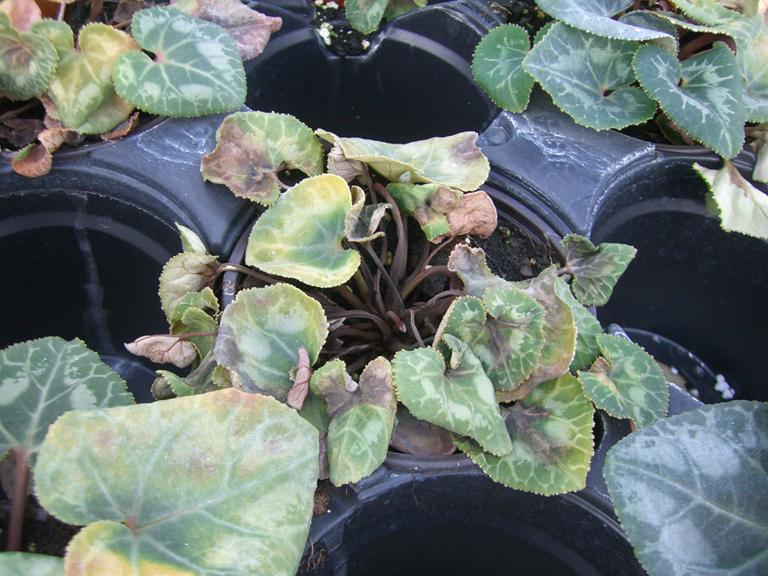 Phytophtora les champignons maladies for Plante pendante