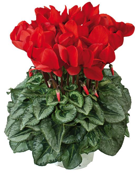 Presentation of all the varieties of the halios standard - Arrosage cyclamen en pot ...
