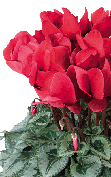 Cyclamen Halios® 2210 - Red silverleaf