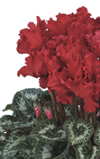 Cyclamen Halios® - CURLY® Bright scarlet