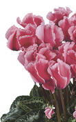 Cyclamen Halios® - CURLY® LITCHI® Rose