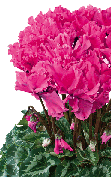 Cyclamen Halios® 2471 - CURLY®  Deep rose