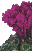 Cyclamen Halios® 2491 - CURLY® Bright purple