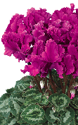 Cyclamen Halios® 2495 - CURLY® Purple