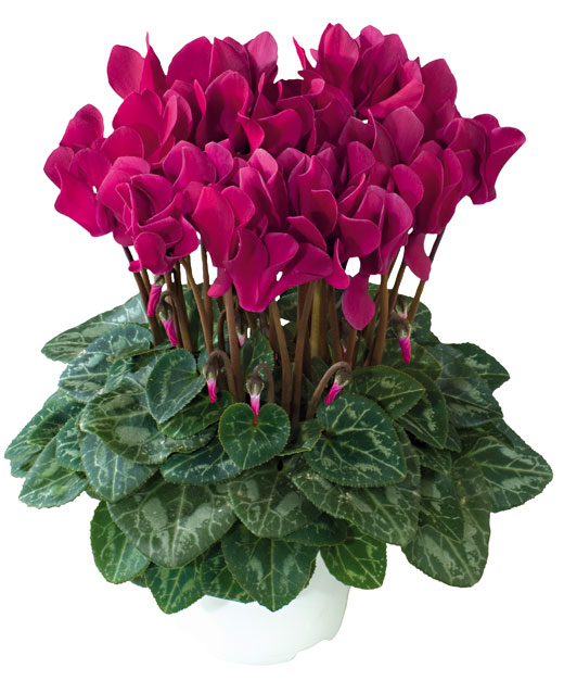 Presentation of all the varieties of the tianis intermediate cyclamen series - Arrosage cyclamen en pot ...